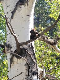 abert s squirrel in aspen tree florissant fossil beds national