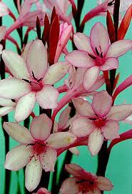 13 best watsonia s for the front garden images on