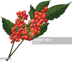 Coffee Tree Branch With Beans