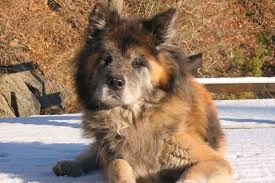 Does Akita Shed A Lot by Things To Know Before Getting A Breed See What Real Akita