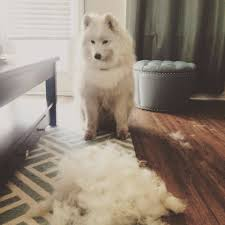Dogs That Shed Hair by Great Debate Are Samoyeds Really Hypoallergenic