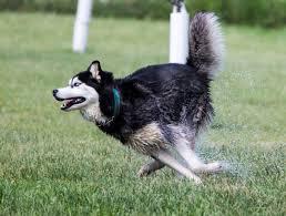 Non Shedding Husky Cross by Husky Rescue U2013 Sa The Siberian Husky Anything But Average