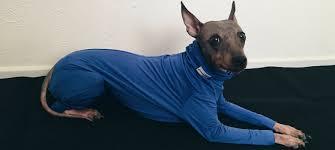 Stop Rat Terrier Shedding by Boston U0027s Shed Defender U2014 Old World New