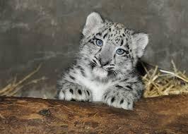 Brookfield Zoo Halloween Activities by Meet Brookfield Zoo U0027s Snow Leopard Cub Wgn Tv