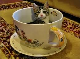 tea cup cat here are some interesting facts about teacup kittens i can has