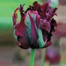 black parrot tulip brecks