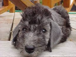 Low Shedding Dogs List by 10 Best Pets Images On Pinterest Terrier Dogs Terriers And