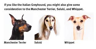 Do Italian Greyhounds Shed A Lot by The Italian Greyhound Modern Dog Magazine