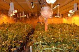 Redlands Fl Pumpkin Patch by 9 Million Marijuana Growing Operation Busted In Beaumont
