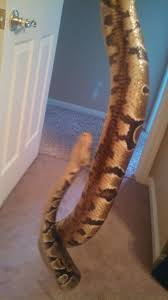 Ball Python Shedding Signs by What U0027s Wrong With My Ball Python He U0027s About 14 Or 15 And I