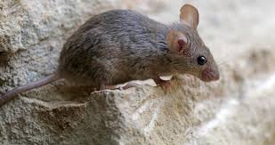 Are Mice Blind?   Terminix Mice How To Identity And Get Rid Of In The Garden Home Rats Guaranteed 4 Easy Steps Youtube Does Peppermint Oil Repel Yes Best 25 Getting Rid Rats Ideas On Pinterest 8 Questions Answers About Deer Hantavirus Mouse Control To Of In The Keep Away From Bird Feeders Walls 2 Quick Ways That Work Get Rid Of Rats Using This 3 Home Methods Naturally Dangers Rat Poison Dr Axe Out Your Without Killing Them