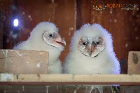 Robin Loznak Photography: Barn Owlets Chris Eastern Screech Owl Nest Box Cam For 2001 Three Cute Barn Owlets Getting Raised In Kodbakkam Chennai 077bojpg Needle Felted Owlet Baby Outdoor Alabama Escapes And Photography Owls Owlets At Charlecote Park Robin Loznak Barn Owls Oregon Overheated Chicks Rescued Hungry Project 132567 2568 2569 2570 The Wildlife Center Wallpaper Archives Trust Young Thrive On Harewood Estate House By Michael A Eccles