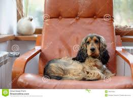 English Cocker Spaniel Dog Stock Image. Image Of Sitting - 34637065 Faux Suede Pet Fniture Covers For Sofas Loveseats And Chairs Comfort Research Big Joe Bagimals Dawson The Dog Bean Bag Armchair Shih Tzu Lap On The Stock Photo Image 350298 Dog Cat Chamomile Amazoncom Sure Fit Quilted Throw Sofa Slipcover Taupe King Sitting His Throne 1018169 Shutterstock Antique Asian Chair Chinese Export Wood Carved Dragon Lion Foo Me My Dogcat Fold Out Bed With Protector Available In Dogs Amazoncouk Boxer Destroyed A Leather Armchair Alone At Home Damaged Hound Buttonback Occasional Loaf