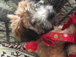 Do Wheaten Terrier Puppies Shed by Beautiful Akc Wheaten Terrier Puppies In Hoobly