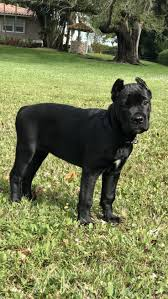 Cane Corso Italiano Shedding by 2079 Best Cane Corso Forever And Ever Images On Pinterest
