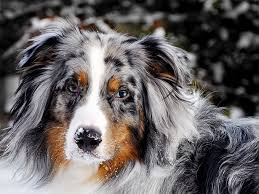Small Non Shedding Dogs Australia by Australian Shepherd Dog Breed Information Pictures