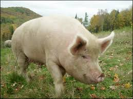 Farm Pigs - Google Search | Fox Farm Entourage | Pinterest Pin By Pat Wozniak On Pork Pinterest Business Planning Afc Pig Farm Ecomavrovic How To Raise Pastured Pigs Without Buying Feed Httpwww Tammi Jonas Food Ethics Farming Plan Sample Dsc Raising Pros Cons The Prairie Homestead Figueroa Breeding Gguinto Bulacan Youtube Gloucestershire Old Spot Pigs And That Farm There Was To Make Your Own Pig Feed The Organic Farmer Heaven What Makes Free Range Different Downtoearth 54 Best Images Farming Backyard In Nigeria Detail Post Practical Traing Its Time Front Yard Farmer