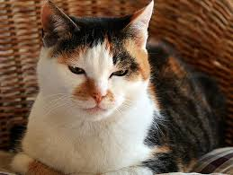 renal failure in cats kidney failure in cats introduction petfinder