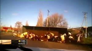 Watch: Truck Full Of Cows Tips Over - YouTube Video Gravel Truck Crashes Through Intersection Of 22 And Jester Best Accident Compilation 2016 Part 1 Youtube Holes Scene Dutch Subs Best Of Rc Trucks In Action Cool Machines At Work Fantastic Monster Jam 2012 Tampa Truck Crash Compilation 720p Crashes Into Bus Viralhog My Videos Review Semi Truck Crash Challenge Brick Rigs Multiplayer Gameplay Lorry Aberdeen Heavy Recovery Yellow Z06 Corvette So Badly It Must Be Scraped Off Asphalt Ustruck Ice Road Truckers American Lastwagen Beamng Drive Gavril D15 Trophy Beta Testing 35