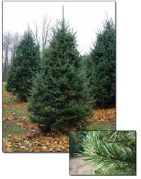 Balsam Christmas Tree Care by Fresh Balsam Christmas Tree Christmas Farms
