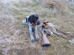German Shorthaired Pointer Shed Hunter by Opinions On German Wirehaired Pointers