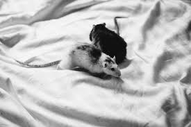 Two rats in bed sheets freestocks