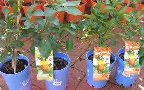 growing citrus in pots gardenworld
