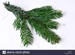 Nordmann Fir Christmas Tree by Caucasian Fir Nordmann Fir Abies Nordmanniana Twig Studio