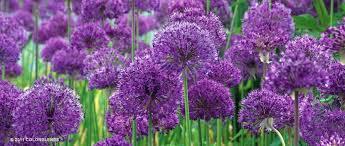 purple sensation allium flowers flower shop near me