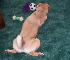 Rat Terrier Excessive Shedding by Puggat Puggats Pug X Rat Terrier