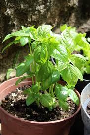 basilic semis culture et récolte au potager