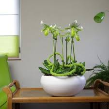5 conseils pour l entretien de l orchidée paphiopédilum ou sabot