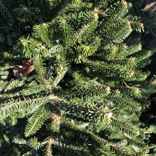 Silvertip Fir Christmas Tree by Christmas Trees The Plant Foundry
