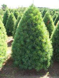 Best Type Of Christmas Tree by Types Of Christmas Trees Christmas Tree Types Blue Spruce