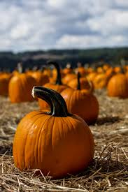 Pumpkin Picking In Ct by New England