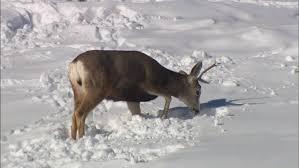Deer Antler Shed Hunting by Shed Hunting U0027 Becoming Dangerous To Colorado U0027s Wildlife Cbs Denver