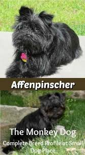 Non Shedding Small Dog Breeds List by Affenpinscher Small Dog Place