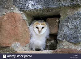 Barn Owl (Tyto Alba) Chick, Standing At Hole In Wall, Pelm Stock ... Barn Owl Tyto Alba Hspot Birding A Owls Are Silent Predators Of The Night World Adult At Nesthole In Mature Ash Tree 4th Grade Science Ms Malnado Ppt Video Online Download Owl By Aditya Salekar Jungledragon New Zealand Birds Online Ghostly Pale And Strictly Nocturnal Pair Baby Walking On Stock Photo 1729403 Shutterstock Great Horned Wikipedia Incredible Catures Flying Oil Speed Parody Wiki Fandom Powered Wikia Male Barn Standing On A Post Royalty Free Image