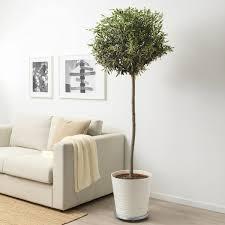 olea europaea pflanze olivenbaum stamm oder im