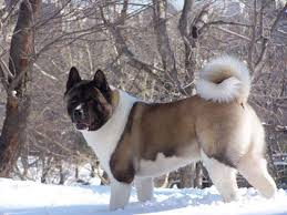 Do Akitas Shed Bad by 10 Surprising Facts About Akitas American Kennel Club