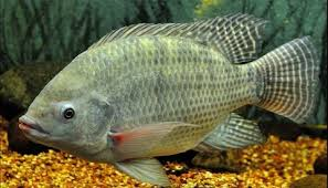 Nile Tilapia Pureline Photo