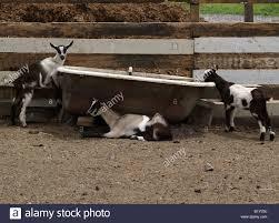 Horse Water Trough Bathtub by Farm Water Trough Stock Photos U0026 Farm Water Trough Stock Images
