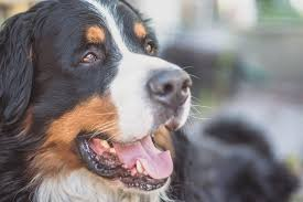 Best House Dogs That Dont Shed by The 25 Best Guard Dogs Guard Dog Breeds For Families