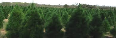 Christmas Trees Types by Types Of Christmas Trees Grown In Texas