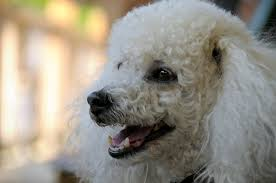 Low Shedding Big Dogs by The 8 Best Dog Breeds For Seniors