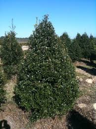 Usda Christmas Tree Permits Colorado by Oakland Holly Trees For Sale Online Garden Goods Direct