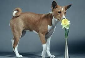 Basenji Shedding Puppy Coat by Basenji Breed Information And Pictures On Puppyfinder Com