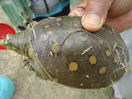 Turtle Shell Not Shedding by November 2014 Mithila Wildlife Trust