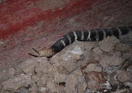 rattlesnake shed skin rattle 100 images diamondback
