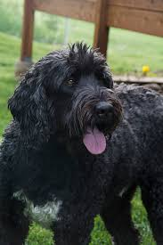 Do Wheaten Terrier Dogs Shed by Black Russian Terrier Dog Breed Information Pictures